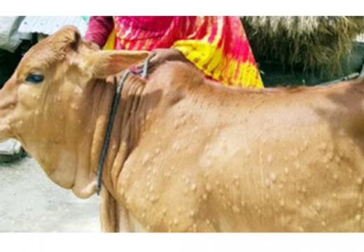 যশোরের চৌগাছায় 'লামপাই স্কিন ডিজিজ' রোগে আক্রান্ত শত শত গরু, আতঙ্কে কৃষক