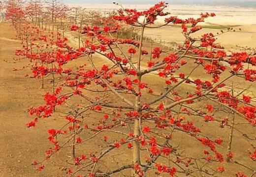 বসন্তের আগমনে লাল রঙে সেজেছে সুনামগঞ্জের তাহিরপুরের যাদুকাটা শিমুল বাগান