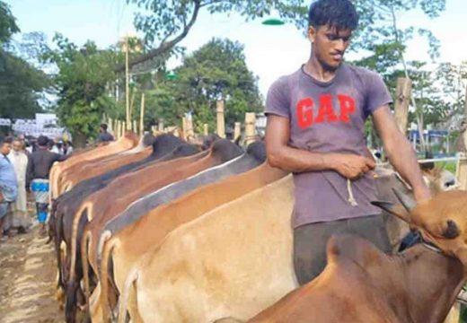 বালাগঞ্জে জমেছে কেনাবেচা, সিরাজ বেগ বাজারে 'টোল ফ্রি' পশুরহাট